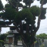 清岸寺かいずか樹齢400年